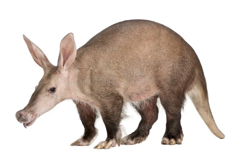 Aardvark, Orycteropus, 16 years old royalty free stock image