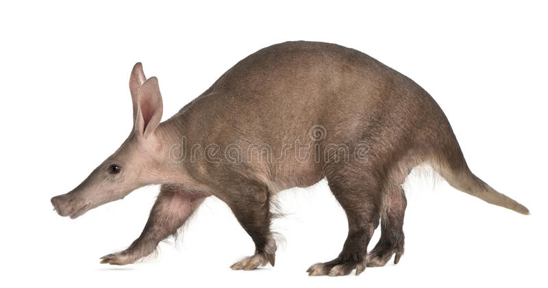 Aardvark, Orycteropus, 16 years old, walking stock images