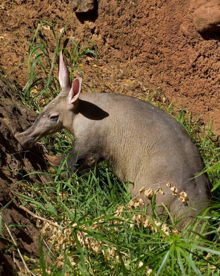 Aardvarken dat rond besnuffelt stock afbeeldingen