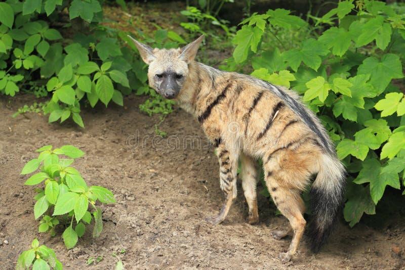 Aardwolf royaltyfria bilder