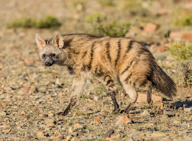 Aardwolf στοκ φωτογραφία με δικαίωμα ελεύθερης χρήσης