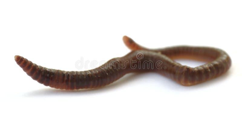 Aardworm stock fotografie