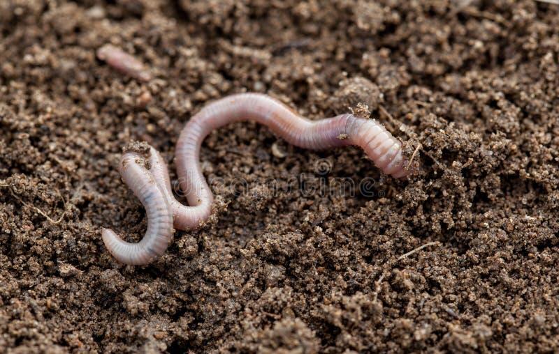Aardworm in grond stock afbeeldingen