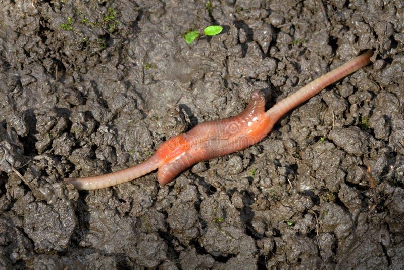 Aardworm het koppelen, Lumbricus-terrestris stock afbeeldingen