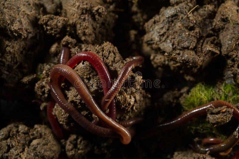 Aardwormen in grond met droge bladeren stock foto's