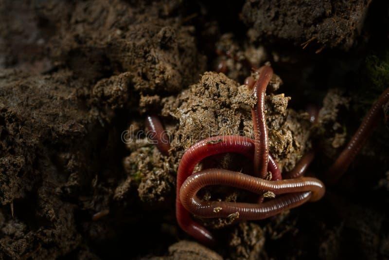 Aardwormen in grond met droge bladeren royalty-vrije stock fotografie