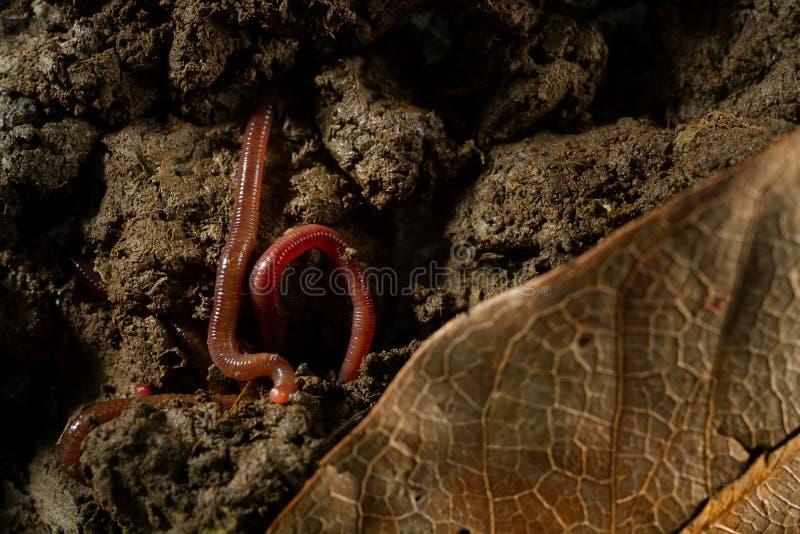 Aardwormen in grond met droge bladeren stock fotografie