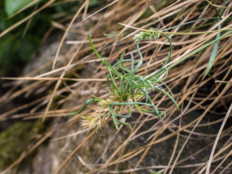 Aartje van vivipary rigida van grassesleria royalty-vrije stock afbeeldingen