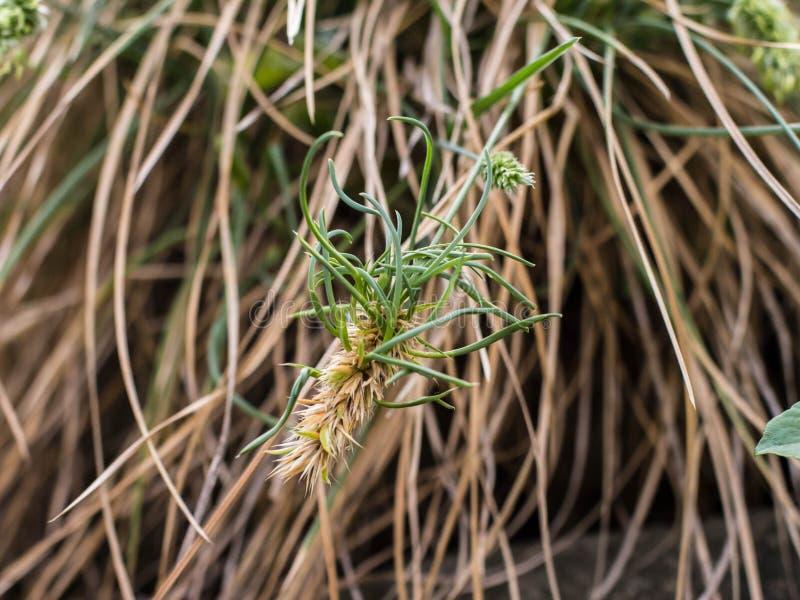 Aartje van vivipary rigida van grassesleria stock fotografie