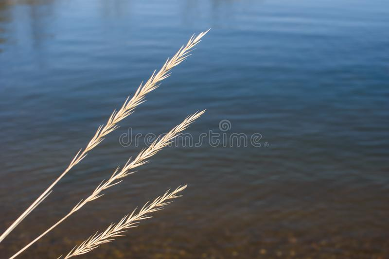 Aartjes van droog gras stock foto's
