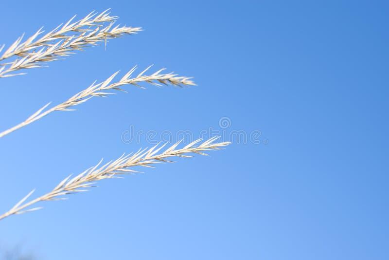 Aartjes van droog gras stock foto