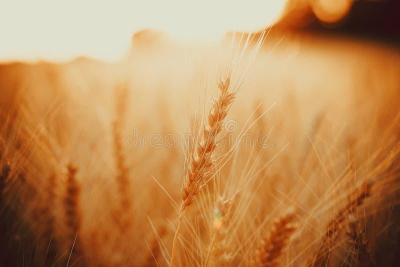 Aartjes van gouden tarwe op gebied Mooi aardlandschap landelijk op de zonsondergang stock afbeelding