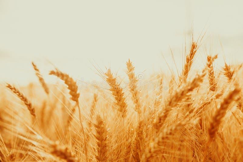 Aartjes van gouden tarwe op gebied Mooi aardlandschap landelijk op de zonsondergang royalty-vrije stock afbeeldingen