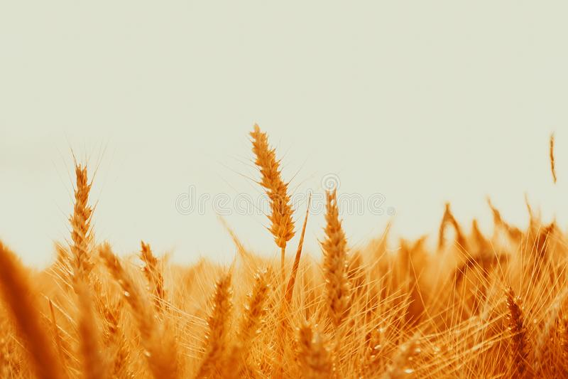 Aartjes van gouden tarwe op gebied Mooi aardlandschap landelijk op de zonsondergang stock foto's