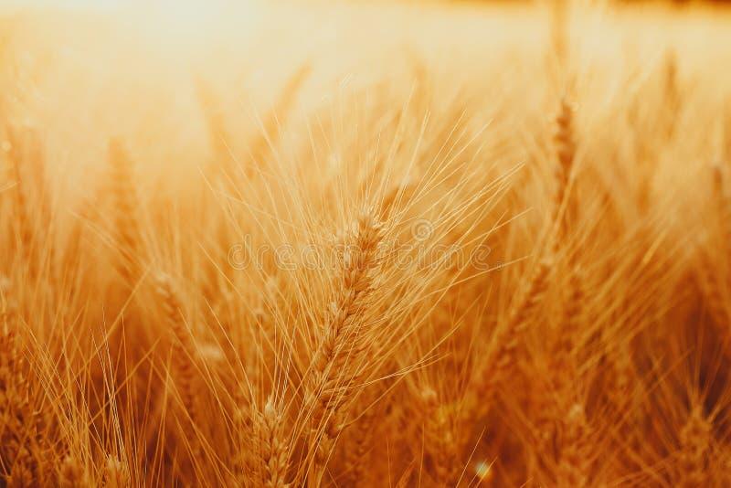 Aartjes van gouden tarwe op gebied Mooi aardlandschap landelijk op de zonsondergang royalty-vrije stock foto's