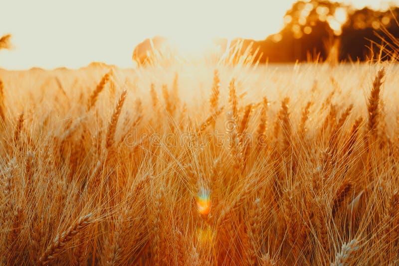 Aartjes van gouden tarwe op gebied Mooi aardlandschap landelijk op de zonsondergang royalty-vrije stock foto