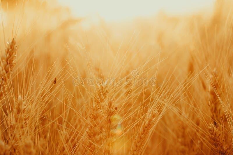 Aartjes van gouden tarwe op gebied Mooi aardlandschap landelijk op de zonsondergang stock fotografie
