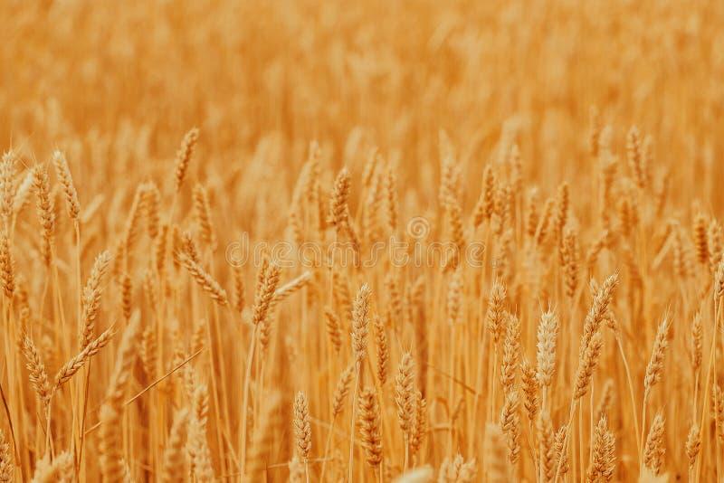 Aartjes van gouden tarwe op gebied Mooi aardlandschap landelijk op de zonsondergang stock afbeeldingen