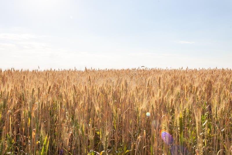 Aartjes van gouden tarwe op gebied Mooi landschap landelijk op de zonsondergang stock afbeelding