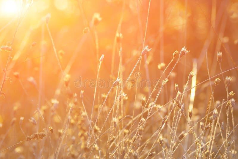 Aartjes van gras tegen een het toenemen zon stock foto's