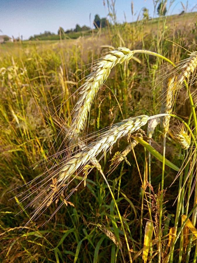 Aartjes van tarwe op het gebied stock afbeelding