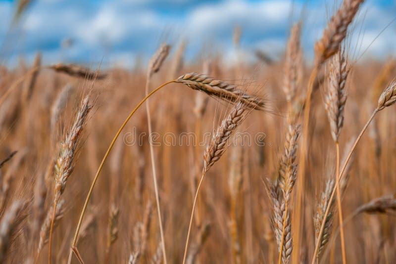 Aartjes van tarwe op het gebied stock fotografie