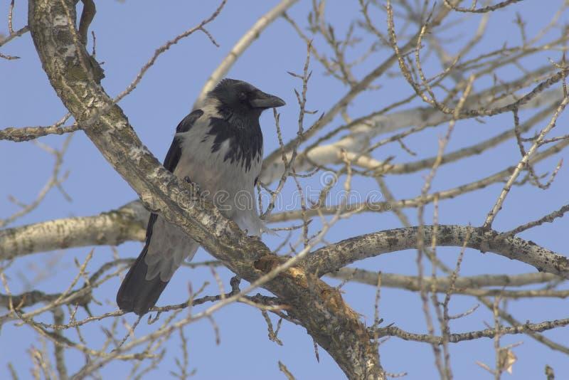 Aas (corone Corvus) stock afbeeldingen