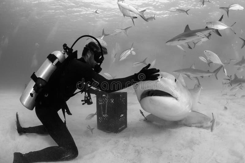 Aas het Voeden van Tiger Shark in de Bahamas stock fotografie