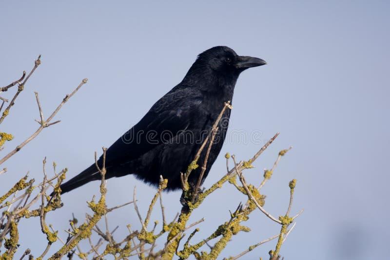 Aaskraai, Corvus-corone, stock foto