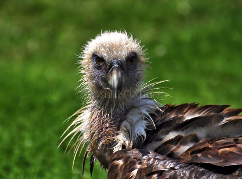 aasvogel obraz stock