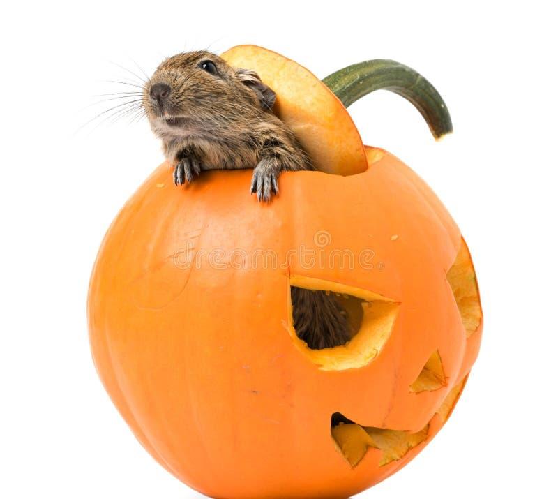 Abóbora de Dia das Bruxas com um rato para dentro imagem de stock royalty free