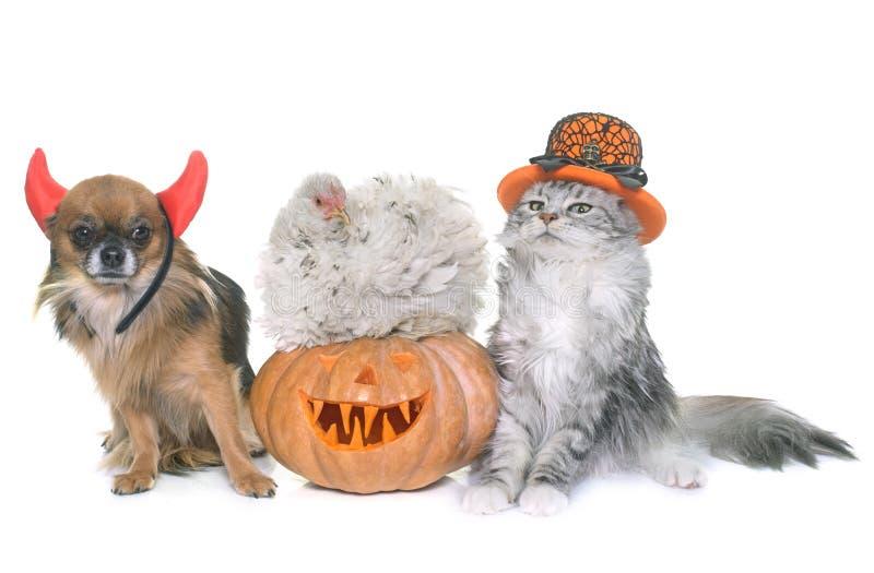 Abóbora e animal de estimação de Dia das Bruxas foto de stock