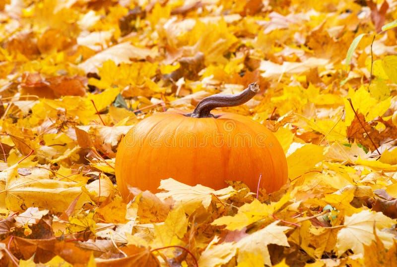 Abóbora madura nas folhas de outono foto de stock royalty free