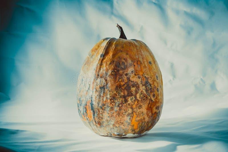 Abóbora seca e podre e secada em um fundo azul-branco, vegetal estragado Alimento perigoso foto de stock royalty free