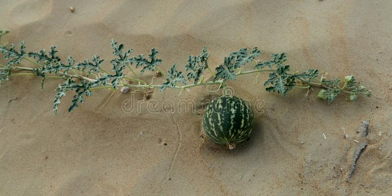 Abóbora selvagem no deserto dos UAE fotografia de stock royalty free