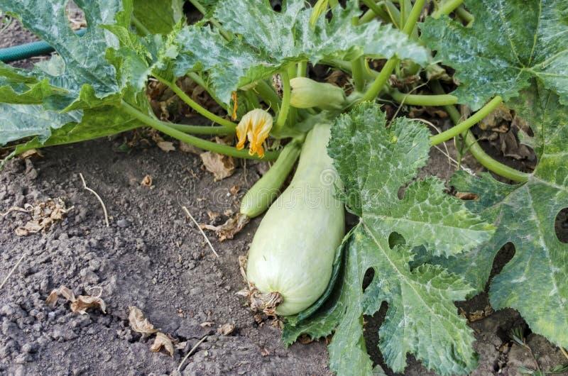Abóbora vegetal, pepo do Cucurbita, ou cama da abóbora com as colheitas na cor branca no jardim vegetal imagens de stock royalty free