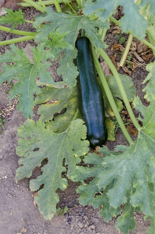 Abóbora vegetal, pepo do Cucurbita, ou cama da abóbora com as colheitas na cor verde no jardim vegetal foto de stock