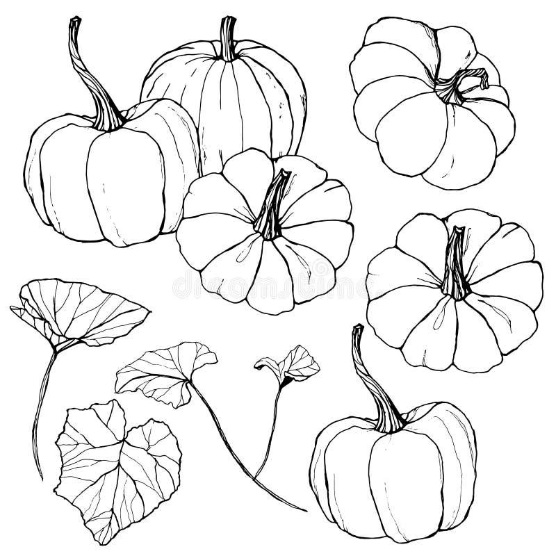 Abóboras do vetor ajustadas para o festival da colheita Abóboras tradicionais pintados à mão com as folhas e os ramos isolados no ilustração royalty free