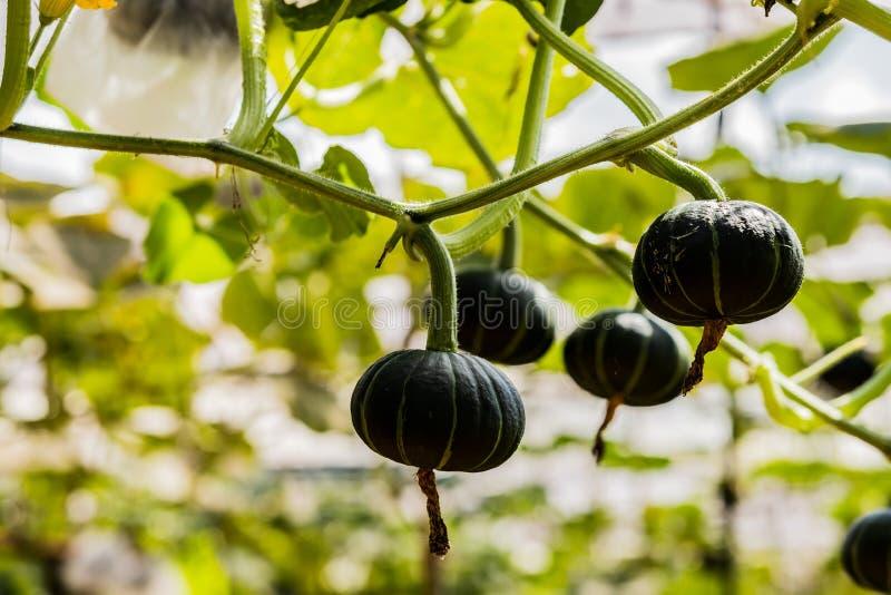 Abóboras japonesas que crescem na exploração agrícola vegetal orgânica fotografia de stock royalty free