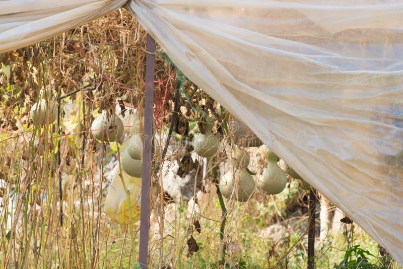 Abóboras maduras no jardim Foco seletivo Profundidade rasa de f fotos de stock