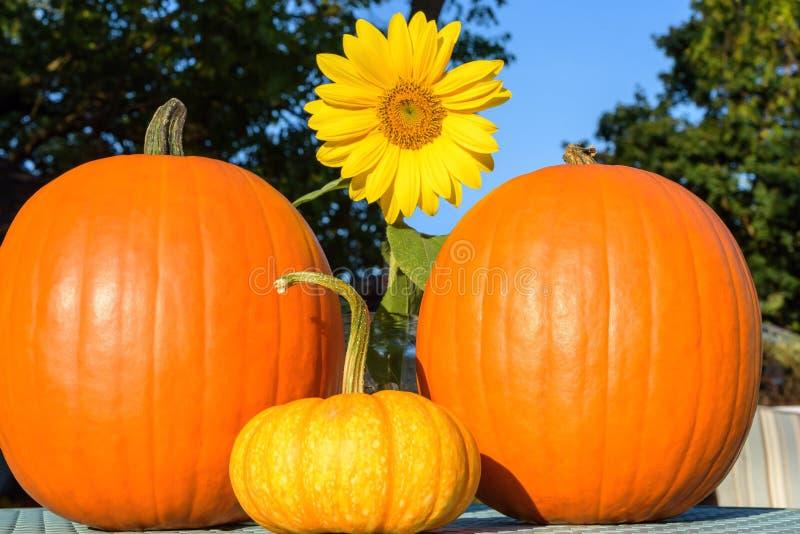 Abóboras no quintal em um dia claro brilhante do outono fotos de stock