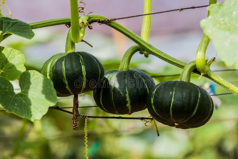 Ab?boras japonesas que crescem na explora??o agr?cola vegetal org?nica fotos de stock royalty free