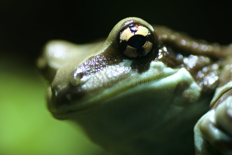 Download żaba zdjęcie stock. Obraz złożonej z amfibia, greenbacks - 144354