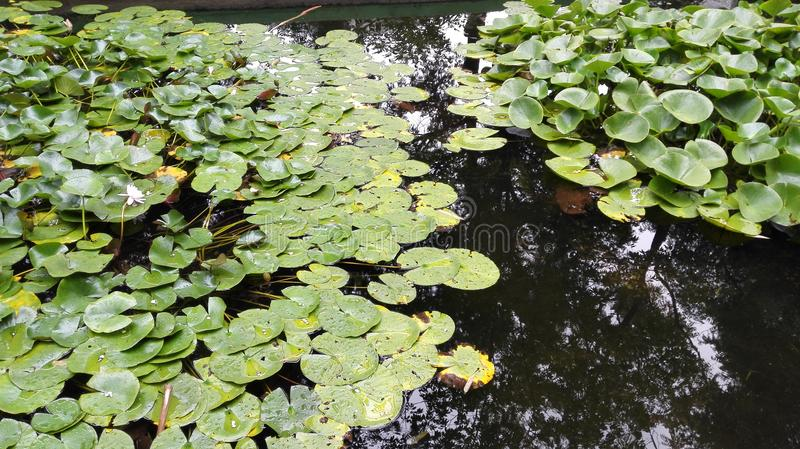 Żaba jezioro zdjęcie stock