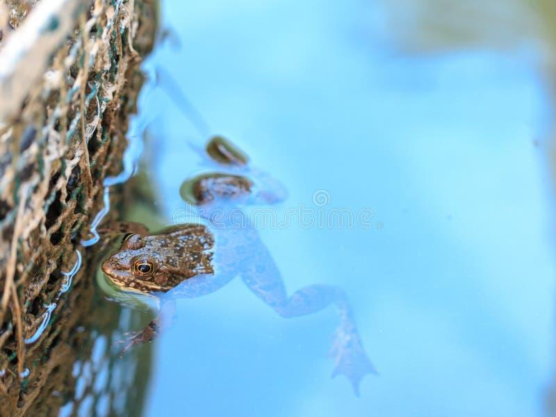Żaba wśrodku pong wody z nieba odbiciem obrazy royalty free