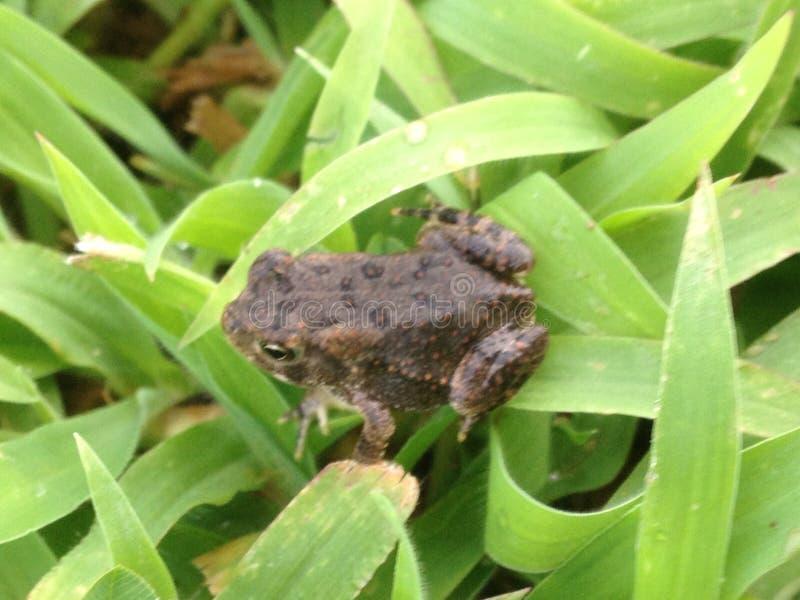 Żaba w trawie zdjęcie royalty free
