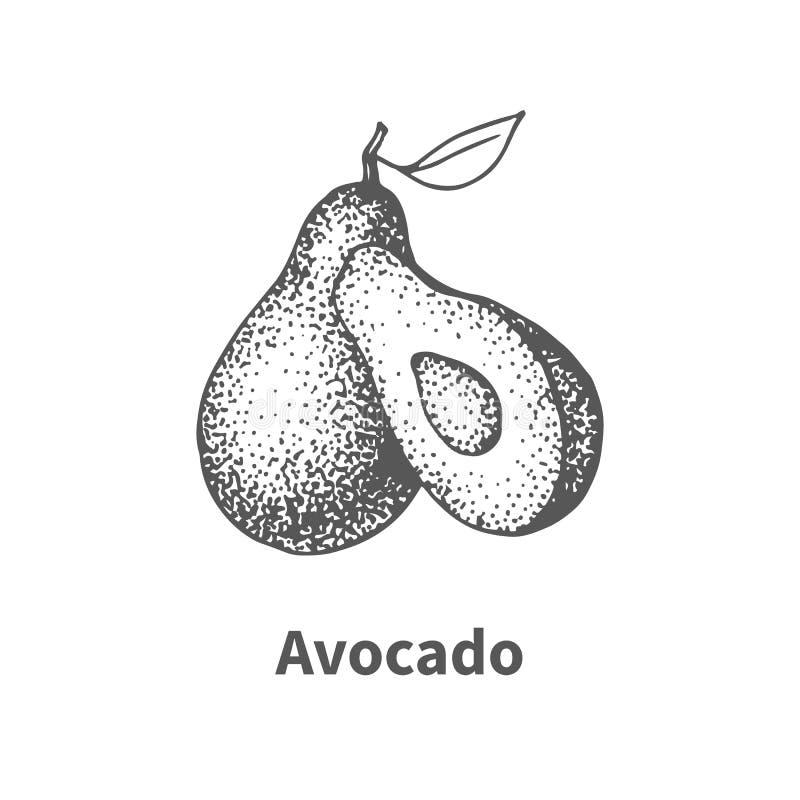 Abacate desenhado à mão da ilustração do vetor ilustração royalty free