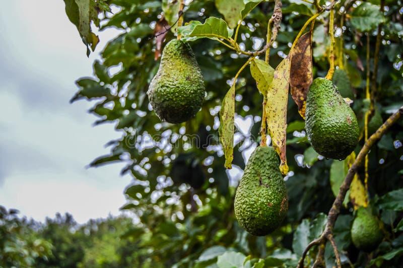 Abacate verde orgânico cru fresco de Hass em uma árvore da exploração agrícola em Mpumalanga África do Sul foto de stock