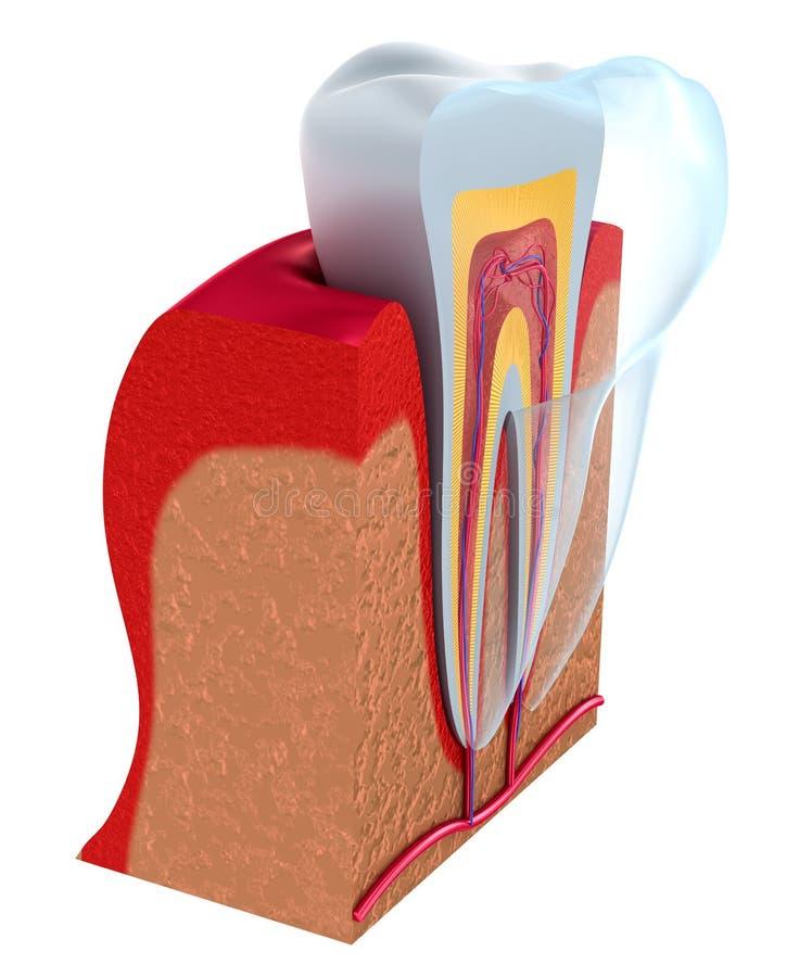 Abaissez les dents et l'implant dentaire d'isolement sur le blanc illustration stock