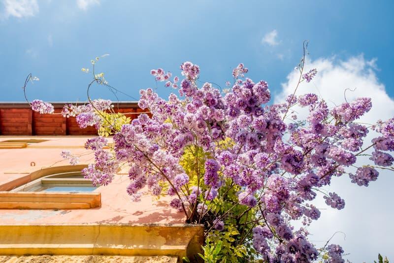 Abajo vista de las flores púrpuras florecientes de la glicinia que cuelgan del edificio italiano clásico viejo durante día de ver fotografía de archivo libre de regalías